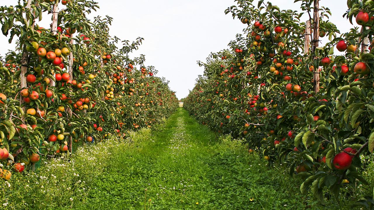 Wafler Apple Rootstock