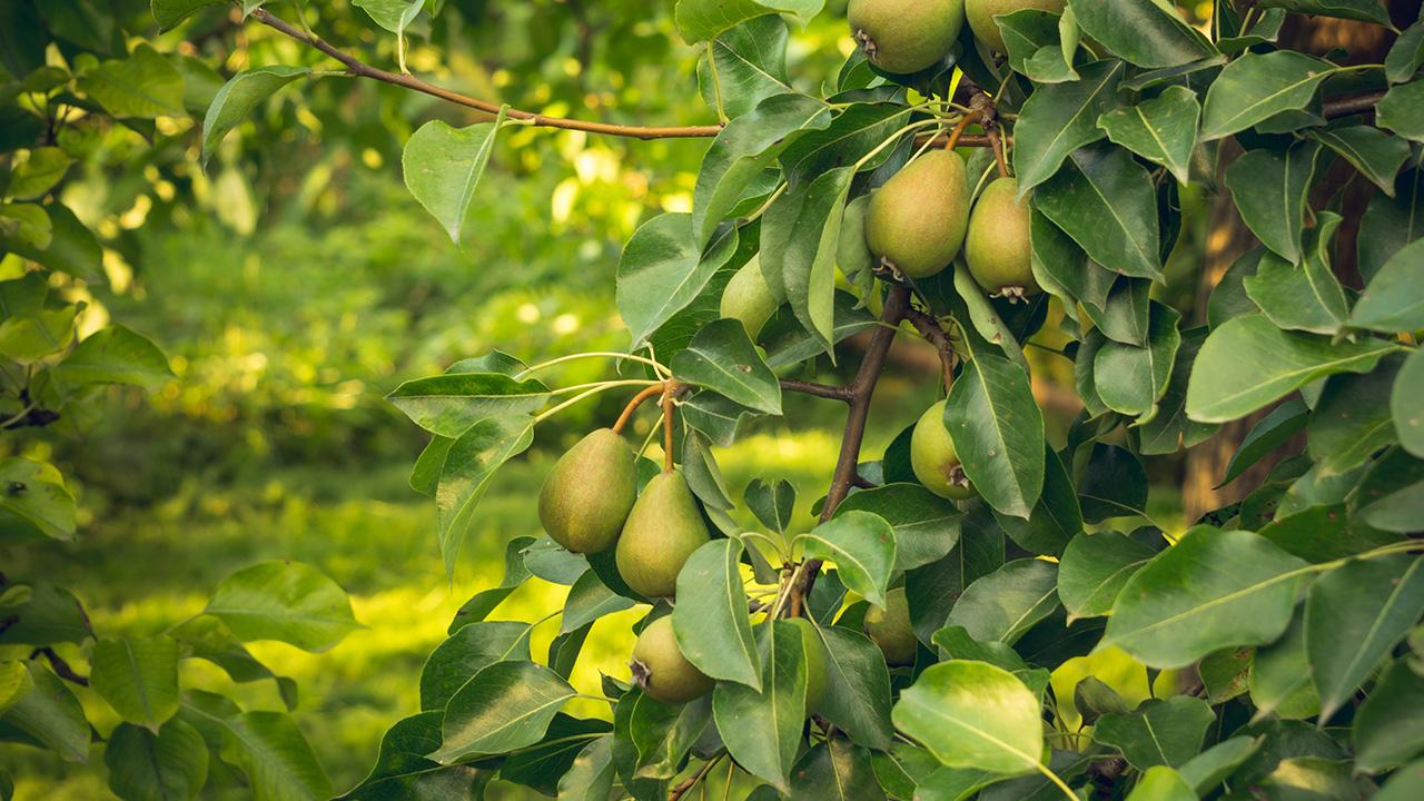 Wafler Pear Rootstock