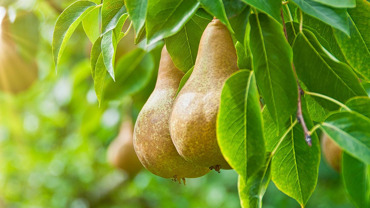 Wafler Pear Varieties